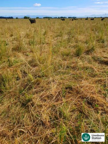 High intensive grazing flattening some pasture to cycle nutrients and improve soil health